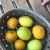柚子と檸檬の収穫の巻