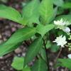 もう一つの山紫陽花とシクラメンの種と