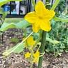 きゅうりとナスの苗に花が咲いた
