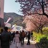 今年も河津桜を見てきた