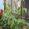 クチナシの木に大きな青虫が・・・