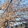 新松戸 桜満開