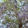 藤の花咲く庭