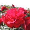 2012/11/09 太陽がサンサンと照る北九州 若松のグリーンパークのバラ園に秋バラを見に行った