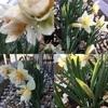 水仙が咲きました💛