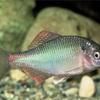 キタノアカヒレタビラの特徴 外観・飼育・繁殖・釣り情報を詳しく解説!