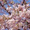 桜の季節 安房直子「うぐいす」