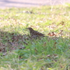 アカハラ・シメ・トラツグミ・チョウゲンボウ(大阪城野鳥探鳥20210213 6:35-12:20)