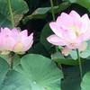 ハスがちらほらと咲き始めています。(春日井・三つ又ふれあい公園/平和公園・蓮池)