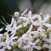 臭木(クサギ)の花はいい香り