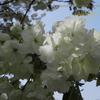 鬱金(うこん) 八重桜 Cerasus serrulata 'Grandiflora'