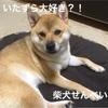 柴犬せんべい、いたずら好き?!