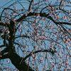 亀戸天神社の枝垂れ梅