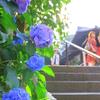 紫陽花⑤(東京・白山神社)