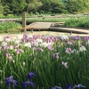 横須賀しょうぶ園 癒しの紫の世界をお散歩しませんか?