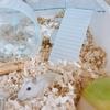 あなほり中のバナナちゃん。豆知識:木製の敷料は使ってはいけない⁉おすすめの敷料とは。