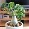 【多肉植物】梅雨の寒さに弱いアデニウム・アラビカムさん