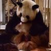 和歌山(白浜)のパンダが生まれたようです!