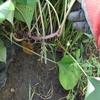 サツマイモのつる返しと革新甘藷作法の管理