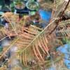 メタセコイア 落葉