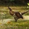 四翼恐竜セリコルニス