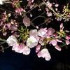 京都府立植物園の桜のライトアップのお話。