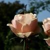 神代植物公園の秋バラ。見頃です。