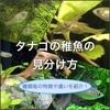 タナゴの稚魚の見分け方!種類によって特徴が違う?写真付きで解説!