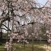 青春18切符で「醍醐寺の桜」を見つつ、神戸まで