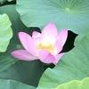 古代のロマン、オオガハス 古代の種が二千年後のいま、咲きほこる