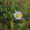 麦畑。白い菫