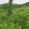 将来の密柑山(和歌山高野みかん)でワラビ採集