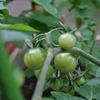 2014年トマト栽培2 順調に生長中