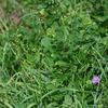 ミシマサイコとスズサイコ、そしてスズサイコの花