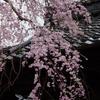 金沢の桜は満開「慶恩寺」