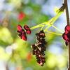 植物と友達になろう!VOL.19「ミツバアケビ」