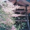 大蔵寺の大蔵ツツジ(4月中旬~5月上旬)