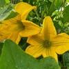 朝活家庭菜園、時間限定!ズッキーニの人工授粉。