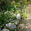グランドカバーの花たち