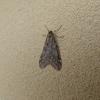冬に現れる面白い蛾
