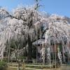 坂戸市慈眼寺のしだれ桜が見事すぎ!見頃、混雑状況、アクセスは?【埼玉】