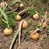タマネギを渋々収穫する