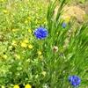 ヤグルマギク、ラナンキュラスの開花