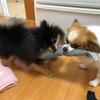 おもちゃの取り合い