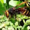 巣は見えないのに大量の蜂がいるのはなぜ?