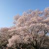 銀座スイスでオムカツカレー食べて皇居東御苑で桜を見てきた