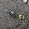 オオシロフクモバチ