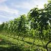 日本のワインの聖地・甲州勝沼へ。