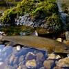 MATTY.teamHoozuki.金色岩魚