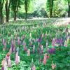 埼玉の国営武蔵丘陵森林公園のルピナス花畑